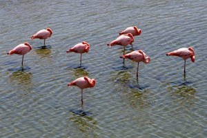 A flock of flamingos resting in a lagoon