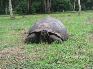 A wild giant tortoise